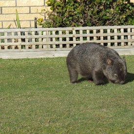 wombat-outside-office